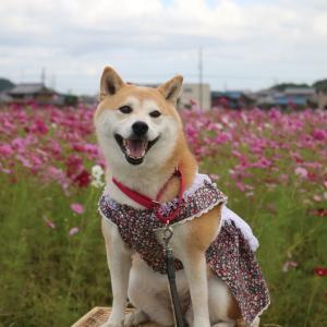 柴犬マイア  志方町高畑 コスモス畑に行ってきた