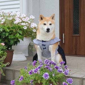 柴犬マイア  新しい手作り服(Ver87)ができました