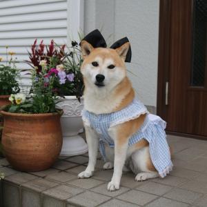 柴犬マイア 不思議の国のアリスになりました