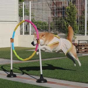 柴犬マイア ジャンプのアニメーション