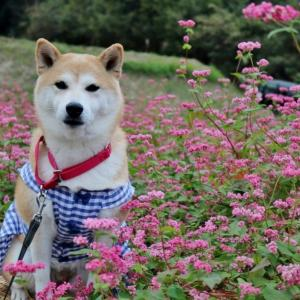 柴犬マイア 香寺町の赤そばの里に行ってきた