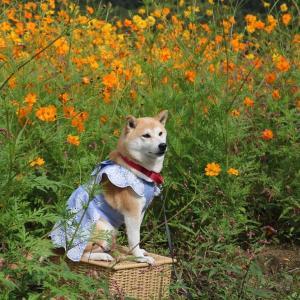 柴犬マイア 志方町広尾東 コスモス畑に行ってきた