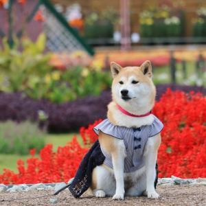 柴犬マイア 再び 兵庫県立フラワーセンターに行ってきた