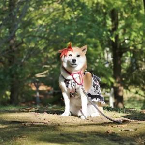 柴犬マイア  稲美中央公園に行ってきた
