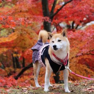 柴犬マイア 兵庫県 犬連れで行ける紅葉の名所