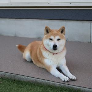 柴犬マイア お庭のリニューアル 最終章