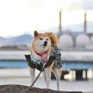 柴犬マイア 再び 網干なぎさ公園に行ってきた