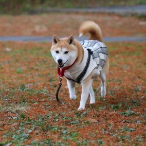 柴犬マイア 再び 奥須磨公園に行ってきた