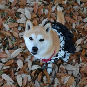 柴犬マイア 朝日山公園に行ってきた