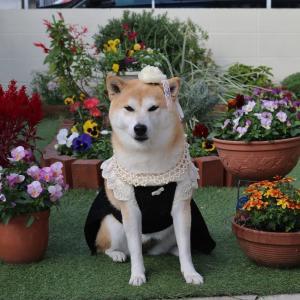 柴犬マイア セレブ犬になりました