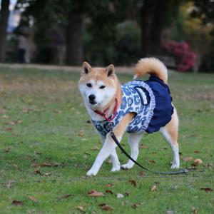柴犬マイア 再び 大中遺跡公園に行ってきた