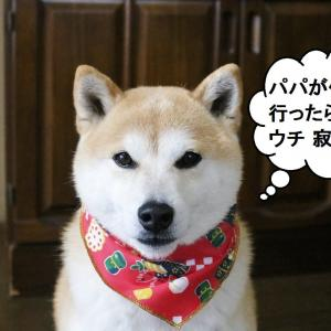 柴犬マイア パパ、仕事に行かんといて!(動画)