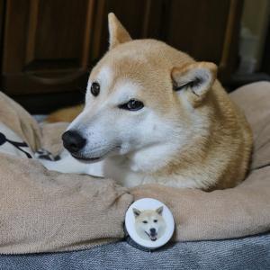 柴犬マイア 乳歯ケース