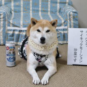 柴犬マイア キャバ嬢になりました