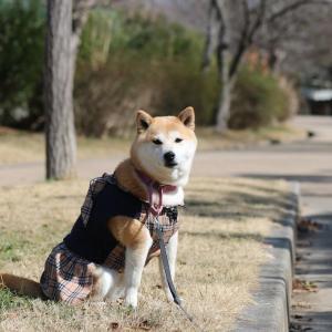 柴犬マイア 再び 高砂市総合運動公園に行ってきた