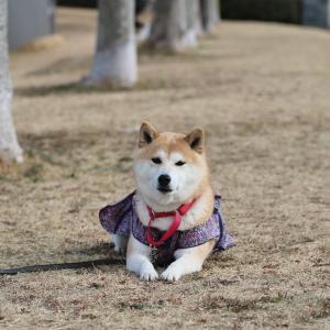 柴犬マイア 赤穂ピクニック公園に行ってきた