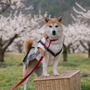 柴犬マイア 綾部市梅林公園に行ってきた