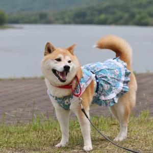 柴犬マイア 青野ダムサイド公園に行ってきた
