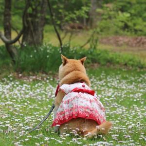 柴犬マイア たじま高原植物園に行ってきた(2021年春)