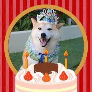 柴犬マイア 8歳の誕生日