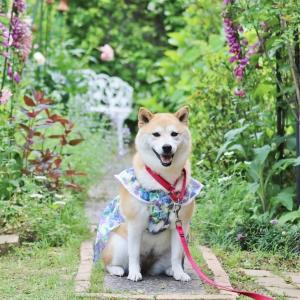 柴犬マイア 「里山に囲まれた庭」に行ってきた