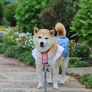 柴犬マイア 「四季を感じる庭園」に行ってきた