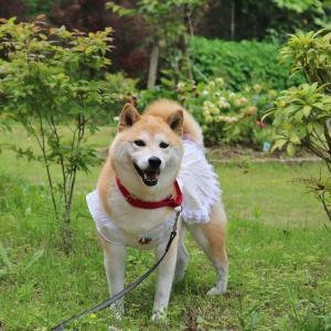 柴犬マイア 古民家カフェ ゆう庵に行ってきた