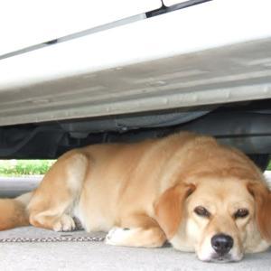先代犬テリナ 『老犬』