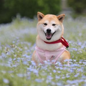 柴犬マイア 姫路市農業振興センターに行ってきた