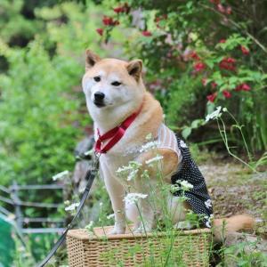 柴犬マイア 「緑に囲まれた庭」に行ってきた