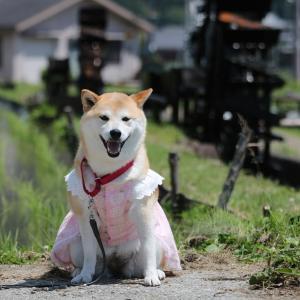 柴犬マイア 再び 新野水車の里に行ってきた