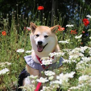 柴犬マイア 「静と華で彩るガーデン」に行ってきた