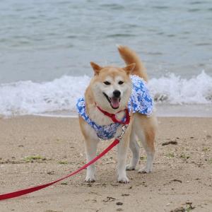 柴犬マイア 林崎・松江海水浴場に行ってきた