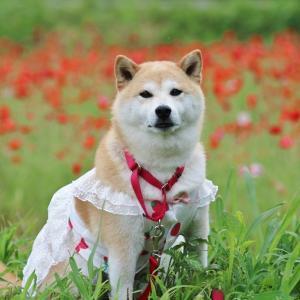 柴犬マイア 波賀町日見谷ポピー畑に行ってきた