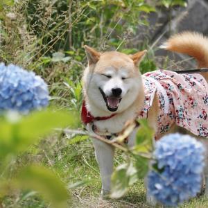 柴犬マイア 見野古墳群和光公園に行ってきた