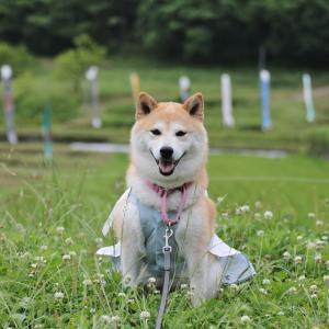 柴犬マイア 乙大木谷の棚田に行ってきた