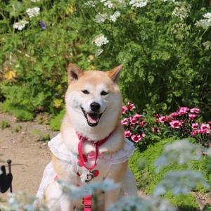 柴犬マイア 「サトーガーデン」に行ってきた