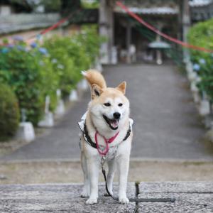 柴犬マイア 通宝山弥勒寺に行ってきた