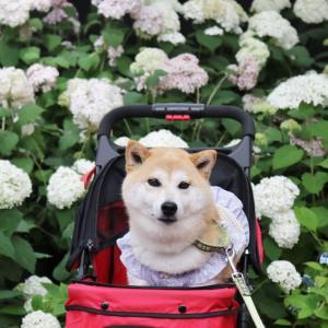 柴犬マイア 再び 手柄山温室植物園に行ってきた