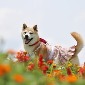 柴犬マイア 市川町文化センターに行ってきた