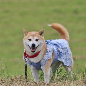 柴犬マイア 揖保川せせらぎ公園に行ってきた
