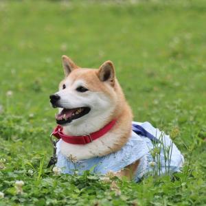 柴犬マイア 太子町総合運動公園に行ってきた