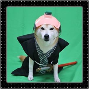 柴犬マイア 「お侍さん」になりました