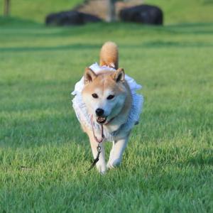 柴犬マイア 加古川運動公園に行ってきた