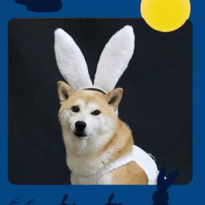 柴犬マイア  十五夜 柴ウサギになりました
