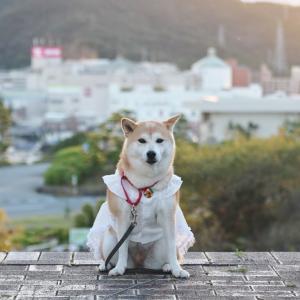 柴犬マイア 名古山霊苑高台に行ってきた