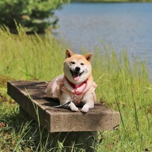 柴犬マイア 西脇公園に行ってきた