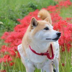 柴犬マイア 多可町 大歳神社に行ってきた
