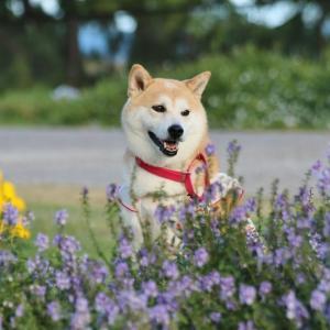 柴犬マイア 淡路島国営明石海峡公園に行ってきた(2021年)