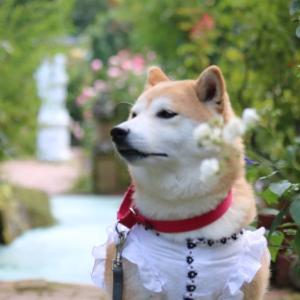 柴犬マイア 姫路ばら園に行ってきた(2021年 秋バラ)